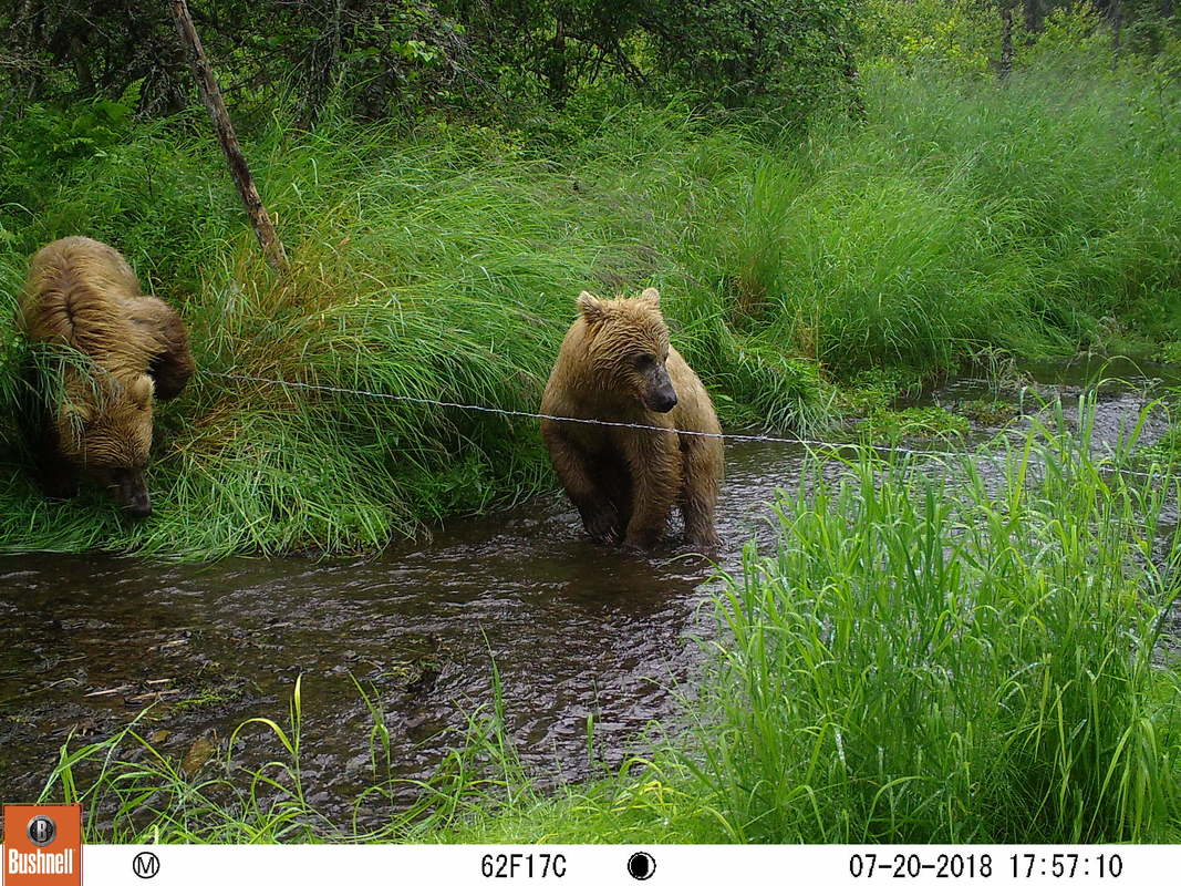 Trail camera photo of two bears at stream in natural area