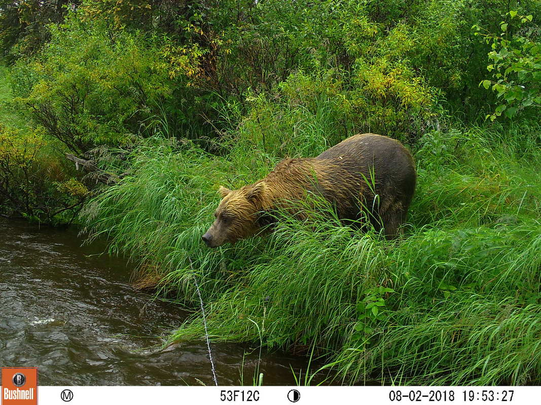 Trail camera photo of bear at stream in natural area
