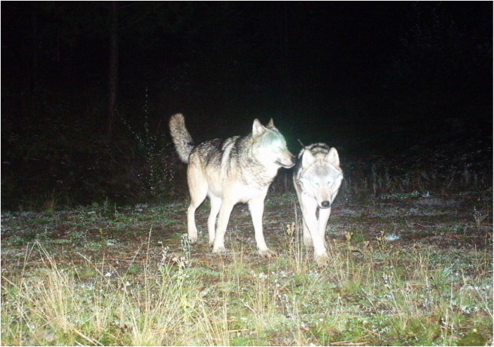 Trail camera photo of two wolves walking through forest at night