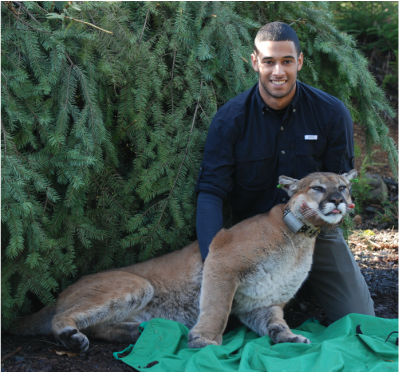 Clint Robins holding a tranquilized cougar among evergreen trees