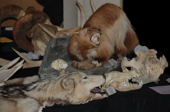 Collection of animal skins and skulls in a natural history museum