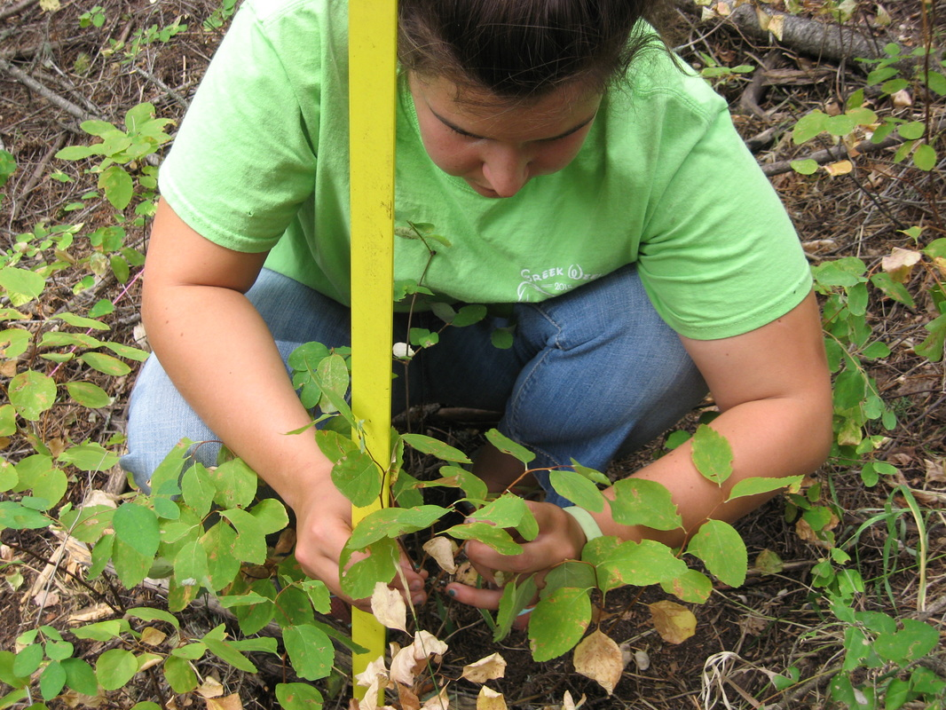 Researcher measuring plants in wooded area