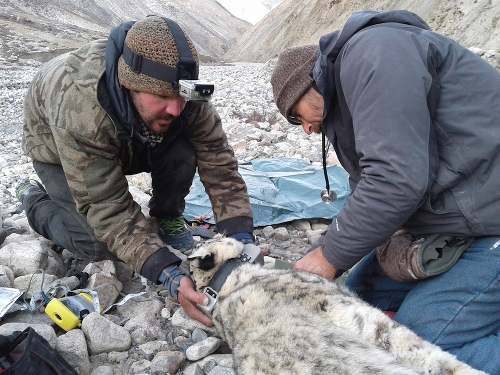 Two researchers fitting a snow leopard with a tracking collar in a rocky area