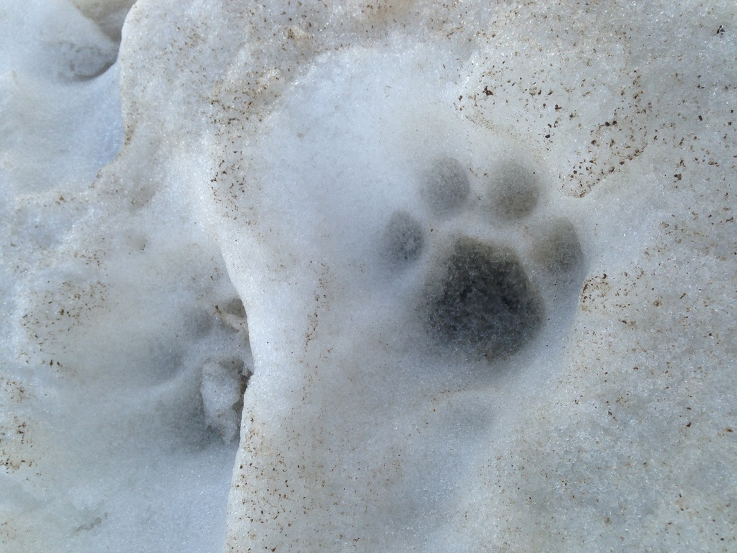 Paw print in dirty snow