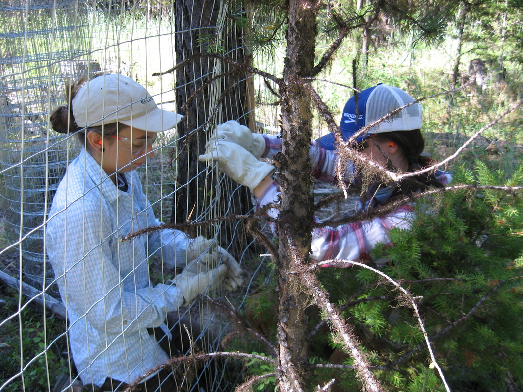 Researchers constructing a deer exclosure fence in wooded area