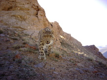Snow leopard approaching camera in mountain area