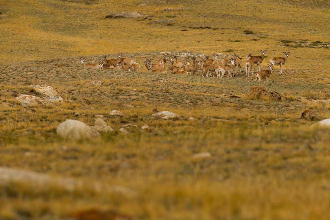 Photo of herd of argali in open dry area