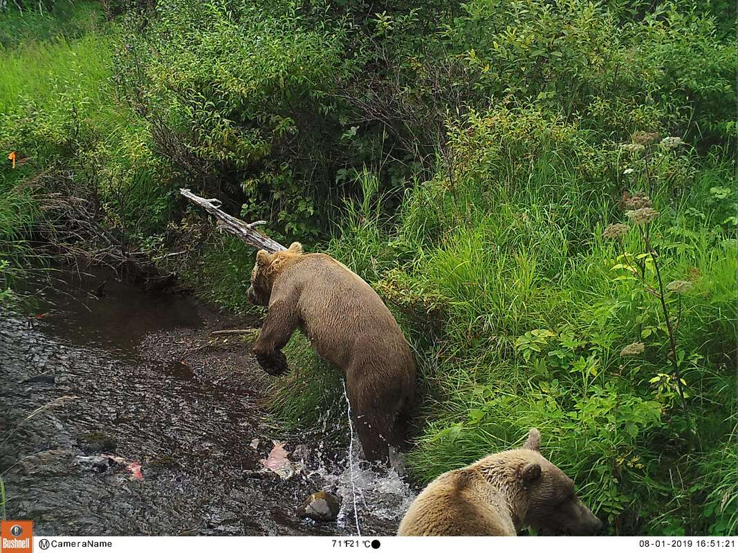 Trail camera photo of bears fishing for salmon in river