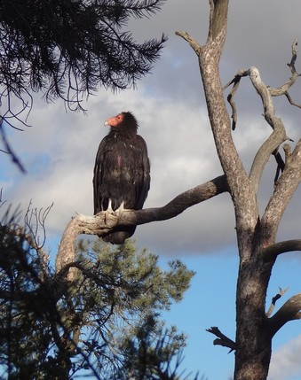 California condor sitting in dead tree
