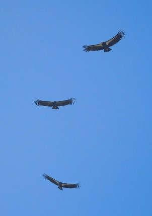 Three California condor flying in sky