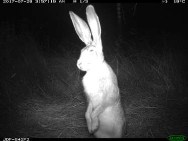 Trail camera photo of black-tailed jackrabbit standing on its hind legs
