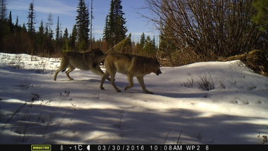 Camera trap photo featuring two wolves