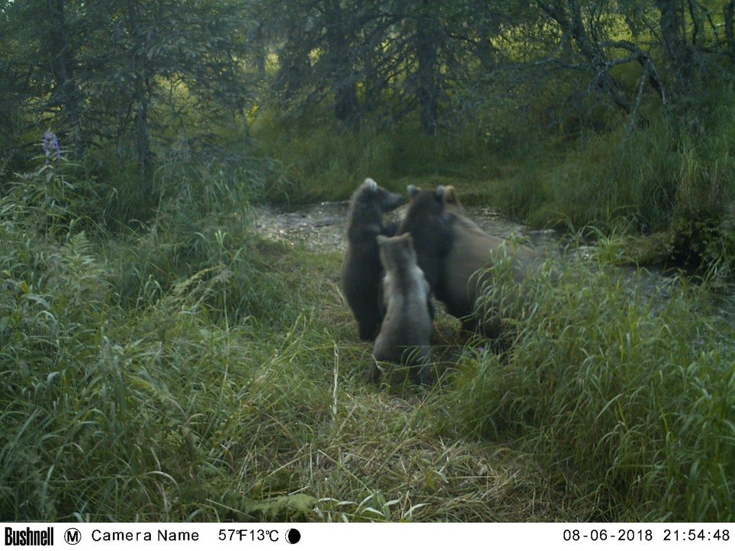 Trail camera photo of bear with two bear cubs at stream in natural area