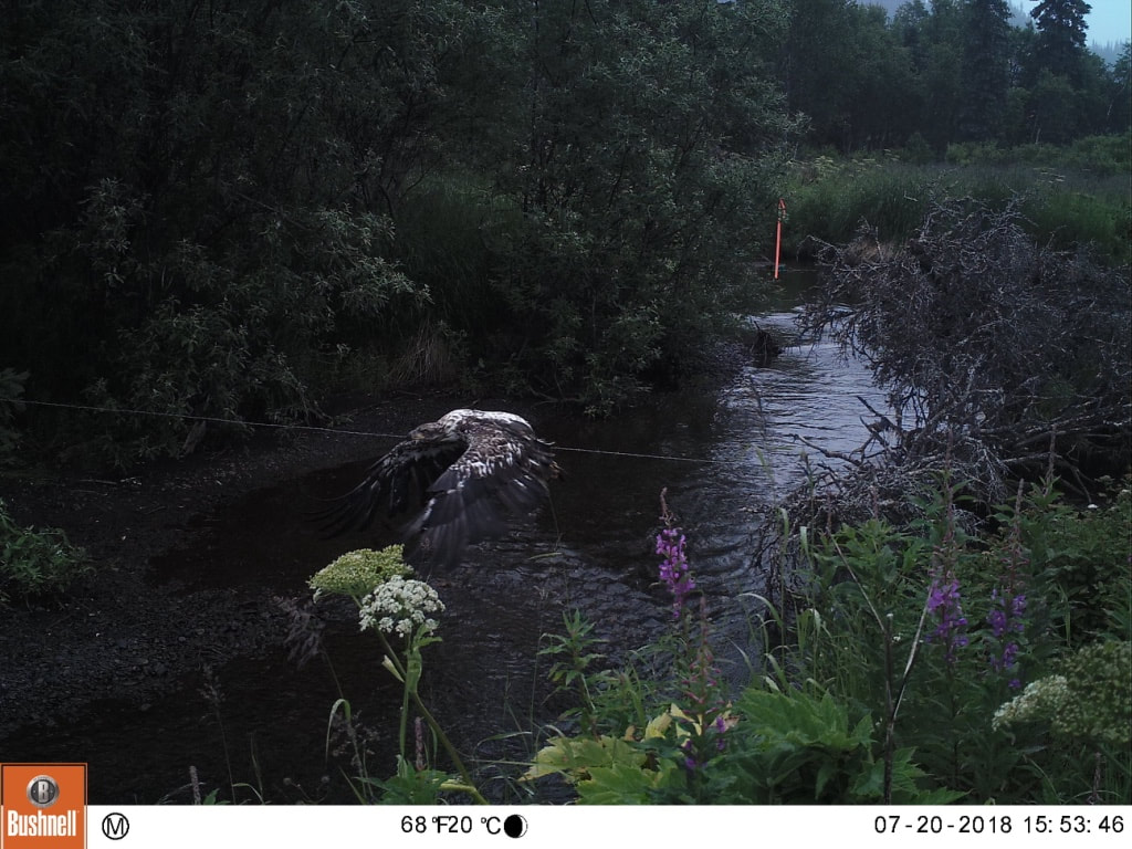 Trail camera photo of bird of prey at stream in natural area